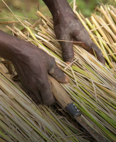 A farmer in Nigeria stacks freshly cut rice plants prior to threshing.