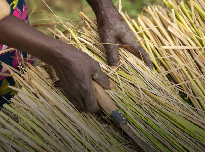 A farmer in Nigeria stacks freshly cut rice plants prior to threshing.