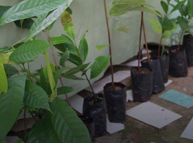 saplings before being planted