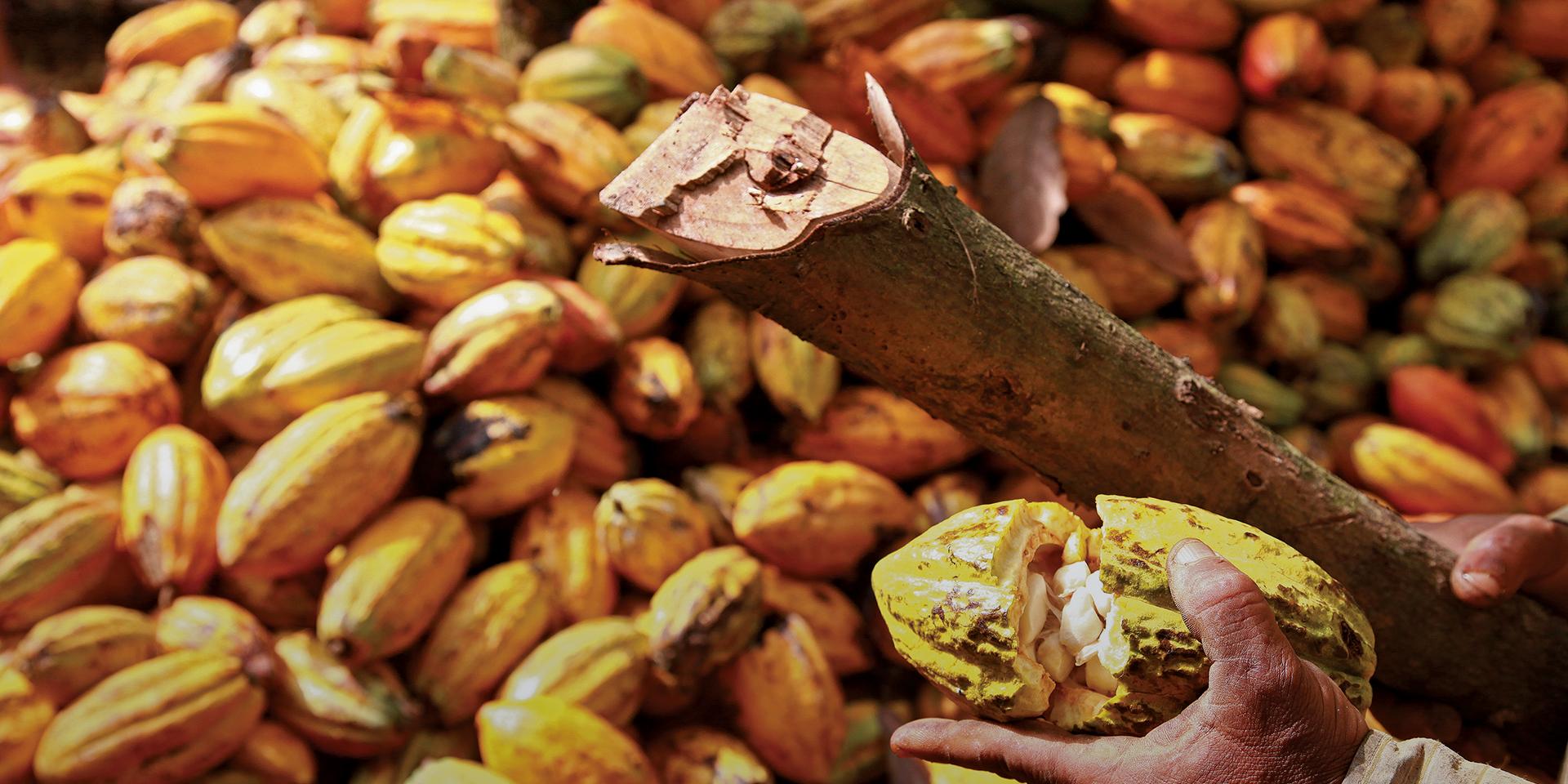 MARKETS II Cocoa Pods