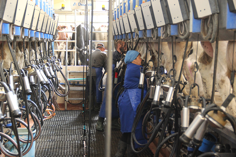 Mechanical milking of cattle at dairy farm