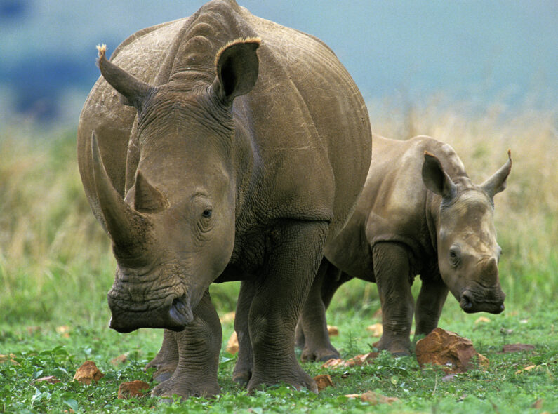 A rhinoceros in South Africa.